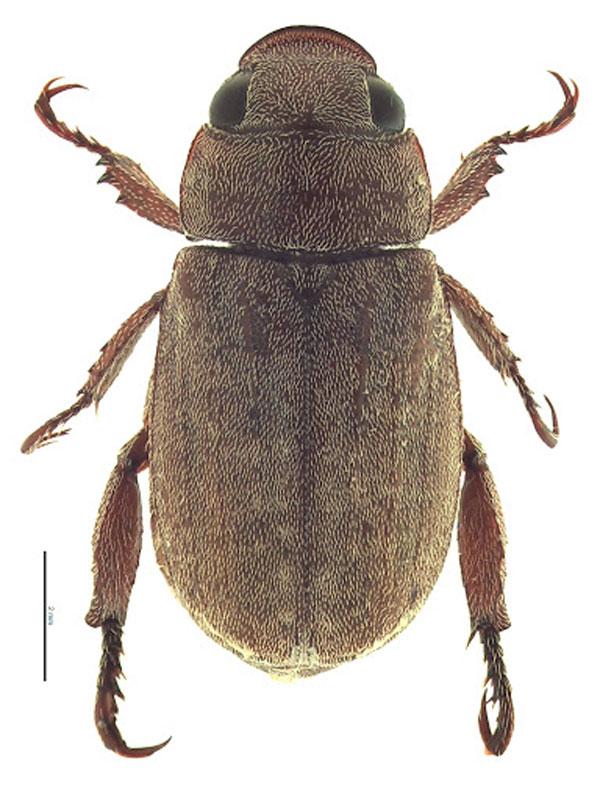 Hình ảnh phóng to của bọ đậu đen