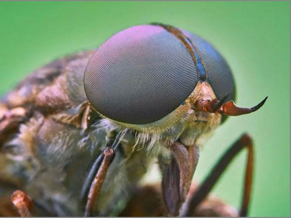 Cặp răng sắc bén giúp ruồi dễ dàng lấy máu chúng ta